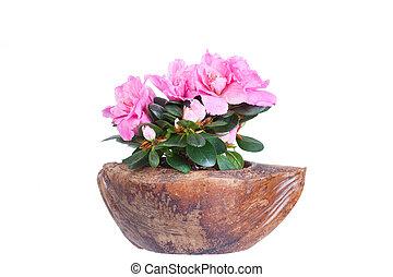 florescer, Cor-de-rosa, azaléia, Coco, metade