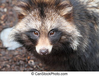 Raccoon dog, Nyctereutes procyonoides - Raccoon dog