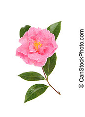 Magenta camellia flower and foliage isolated against white