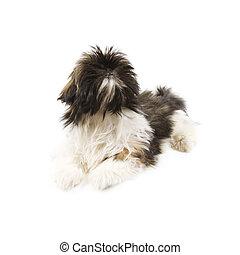 Shitzu Dog - Adorable shitzu dog isolated on a white...