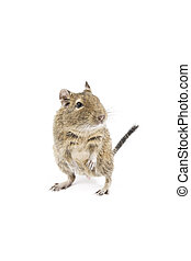Degu - Photo of a degu isolated on a white background