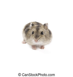 Hamster - Adorable hamster isolated on a white background