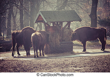 Herd of bisons in national park