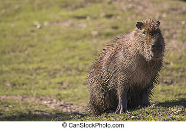 Capybara - Image of a capybara looking straight into the...