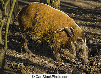 Red river hog - Image of a red river hog searching for food...