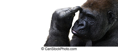 Isolated gorilla thinking with room