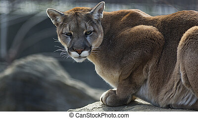 crouching puma - A puma crouches on a ledge as it hunts