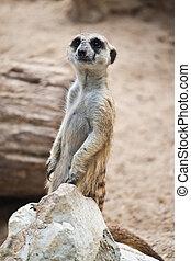 Meerkat  - Meerkat