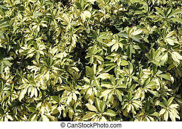 Variegated Schefflera Outdoors - Sunny background of...