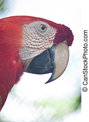 Green-winged macaw  - Green-winged macaw
