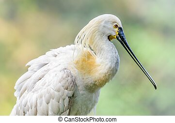 Close up of Bird, Eurasian Spoonbill, Platalea leucorodia,...