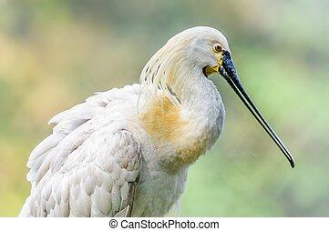 關閉, 向上, 鳥, 歐亞混血人, spoonbill, Platalea,...