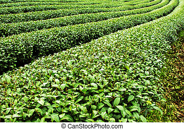 Tea plantation,Mae salong,Chaing rai,Thailand.