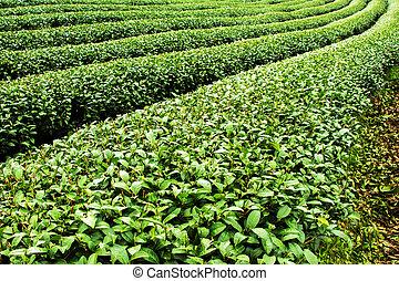 Tea plantation,Mae salong,Chaing rai,Thailand.