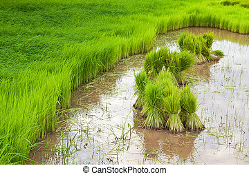 paddy rice in field  - paddy rice in field