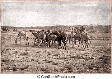Camels - retro -Old Postcard style