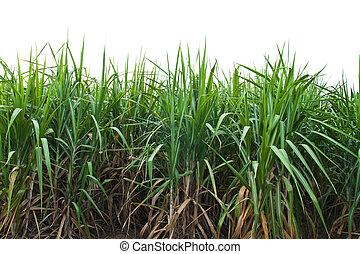 Sugar cane isolate on white background.