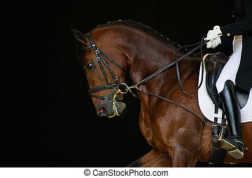 Portrait of bay dressage horse isolated