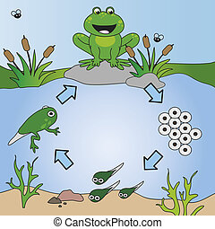 life cycle - illustration of life cycle of frog