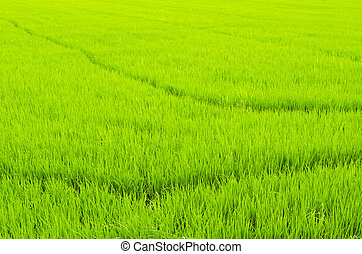 The lush paddy fields of agriculture, Thailand.