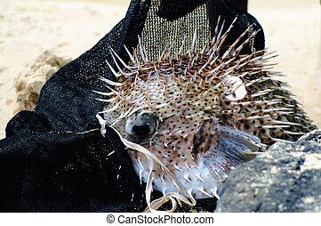 captured porcupine-fish in a bag
