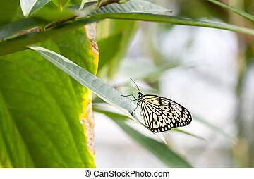 Idea Leuconoe - An image of a butterfly black and white -...