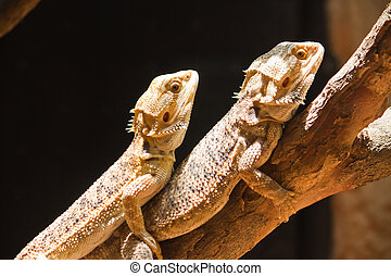 Mating of Bearded dragons (pogona vitticeps)