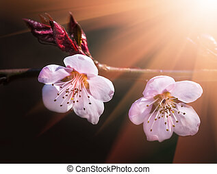 Blooming tree in spring with pink flowers and sun rays