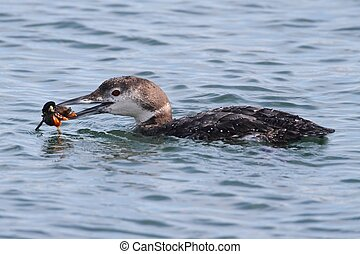Common Loon (Gavia immer) eating a crab in the ocean