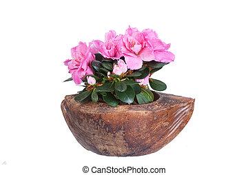 Cor-de-rosa,  Coco, florescer, azaléia, metade