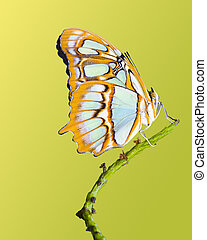 Malachite Butterfly - Malachite butterfly isolated on a...