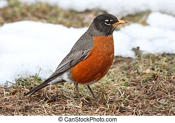 American Robin Turdus migratorius on a lawn with snow