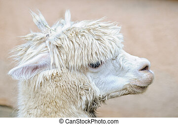 Side view of a white alpaca