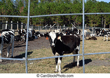 Dairy calf framed by fence