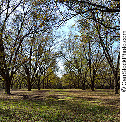 Pecan Orchard in early fall - Pecan orchard in early fall