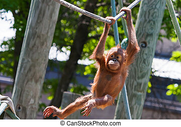 Baby orangutan climbing on high on a rope