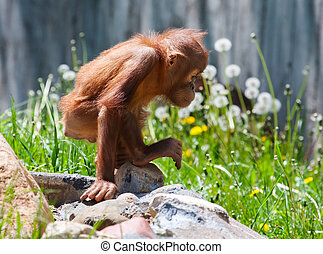 Baby orangutan climbing on a bunch of rocks