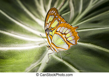 Malachite Butterfly - Malachite butterfly resting on a giant...