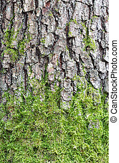 Pine tree bark texture with green moss