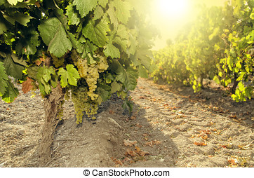 bunch of grapes on vine at sunset