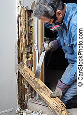 hombre, El quitar, termita, dañado, madera, pared