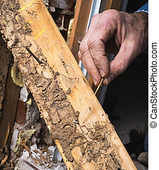 Closeup, Man's, Hand, Showing, Live, Termite, Wood, Damage