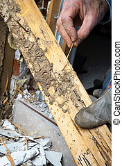 Closeup of Mans Hand Showing Live Termite and Wood Damage -...
