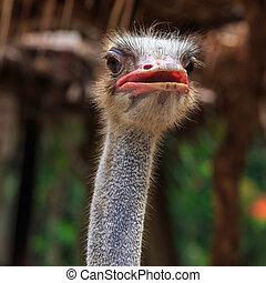 ostrich emu