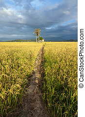 paddy field with dirt pathway
