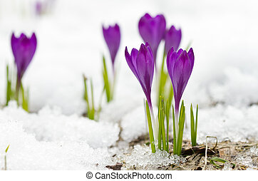 Violet spring crocuses on the snow