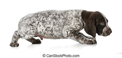 scared puppy - german shorthaired pointer puppy