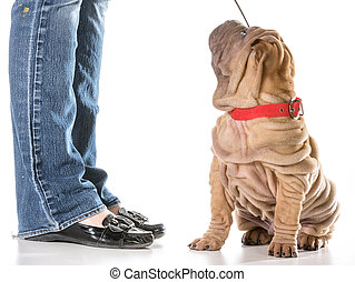 dog training - chinese shar pei sitting with collar and...
