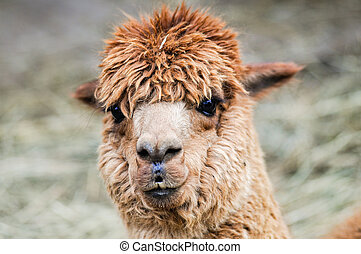 Funny looking brown Alpaca - Detail view of a funny looking...