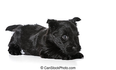 Scottish Terrier puppy in playful pose isolated on white...